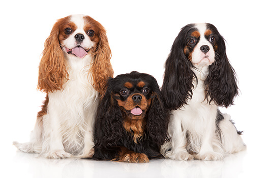 Ideal Dog Breeds for Elderly People in Tampa Bay, CA